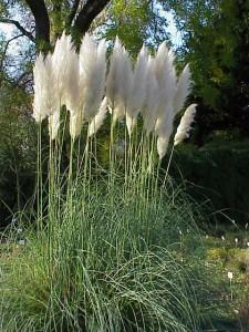 papaška trava - okrasne trave