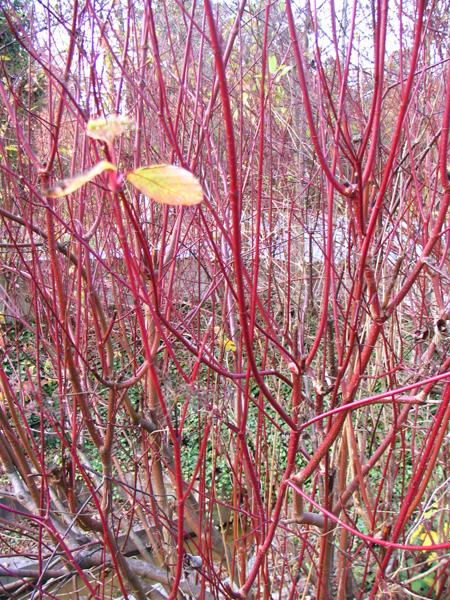 Barviti dreni popestrijo zimski vrt