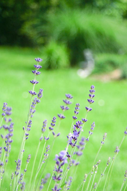 Dišeče rastline - Sivka
