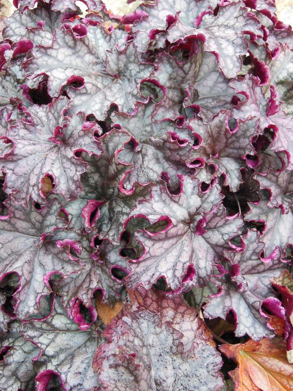 Zimzelene rastline so odlične za strukturo vrta