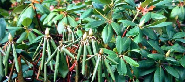 Bolezni rododendronov
