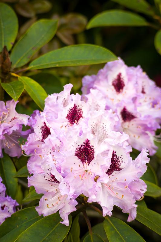 Rododendroni in azaleje kraljujejo na kislih tleh