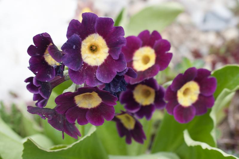 Jegliči (Primula) – čudovite pomladne trajnice