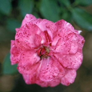 Bolezni vrtnic