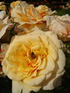 pestrost vrtnic