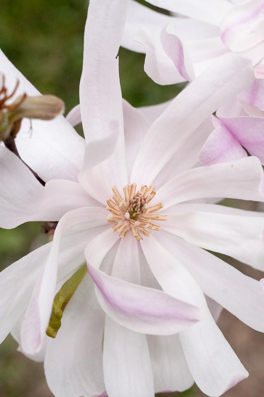Magnolije – čudovito starodavno drevo