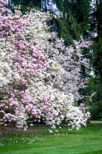 magnolije