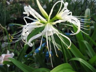 Ali je vsaka lilija res lilija?