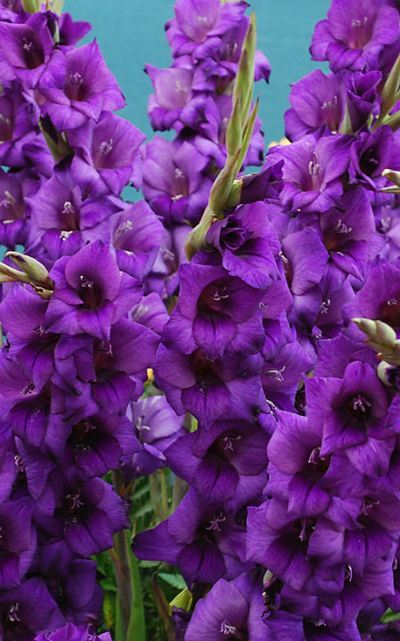 Gladiole – lep okras vrta in aranžmajev