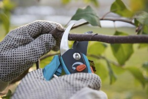 obrezovanje grmovnic