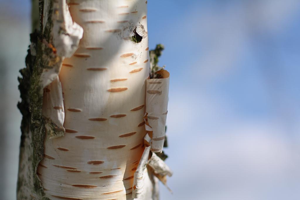 Breza – bledikavo živahno drevo