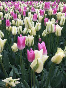 skupine tulipanov
