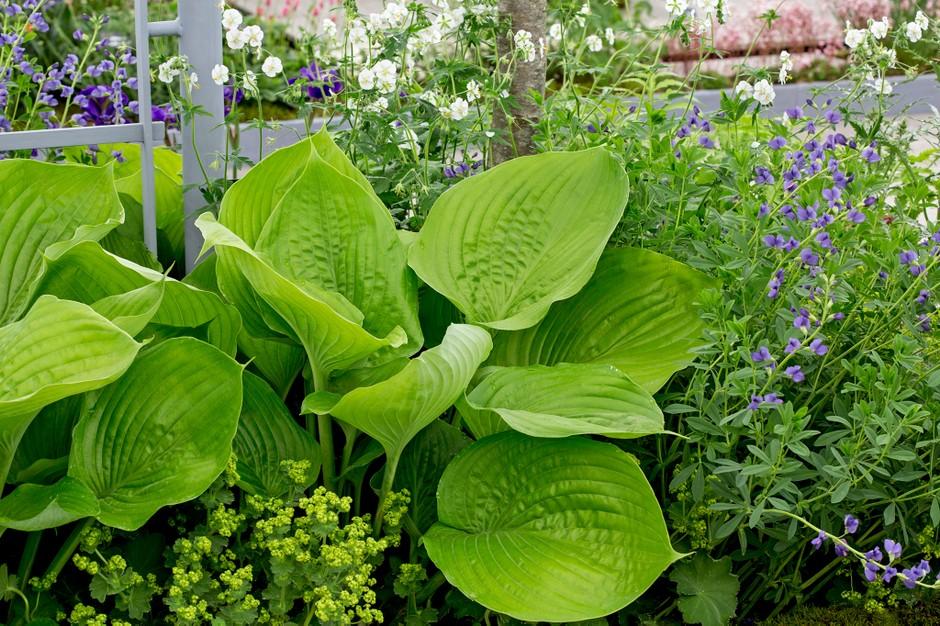 Hosta – čudoviti veliki listi za senčno gredo