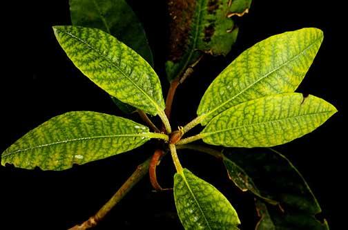 Rododendron - pomanjkanje železa