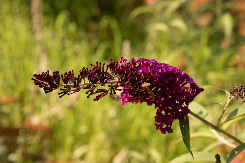Metuljnik – odličen grm za živalim prijazen vrt