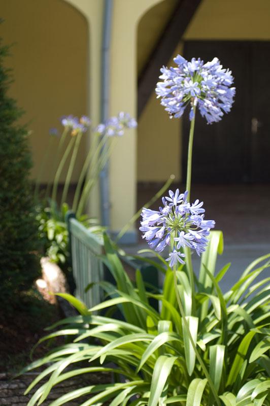 afriska lilija