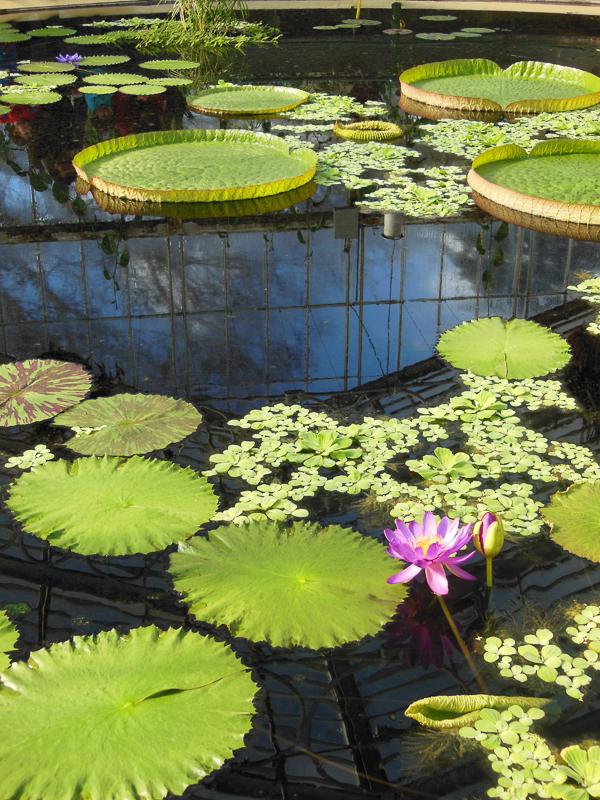botanični potepi - Kew - hiša lokvanjev