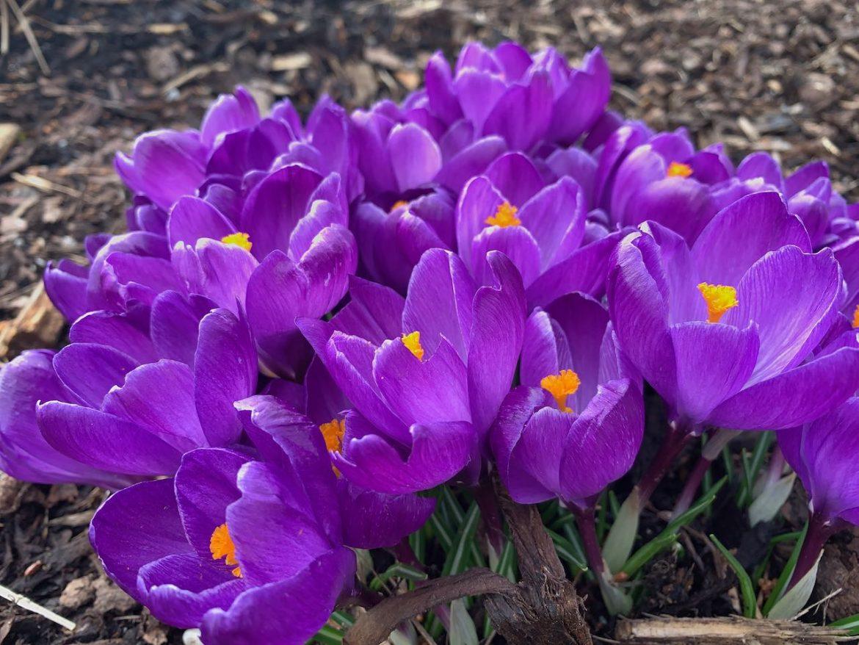 Čebulice za lonce – pisana pomlad na terasi