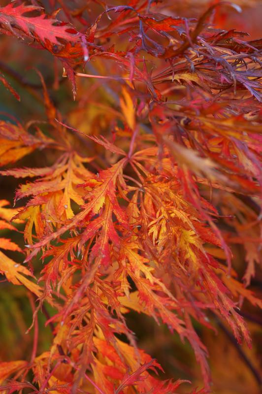 japonski javor