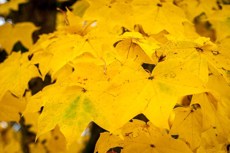Javor – čudovita raznolikost dreves