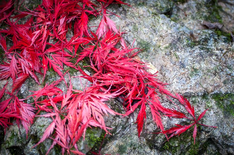 Japonski javor polepša celotno sezono