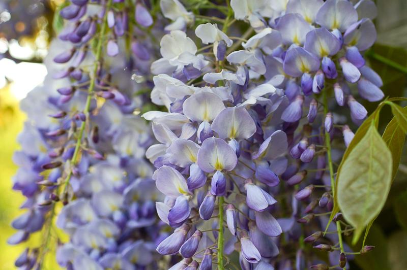 Glicinija – vzpenjavka z bogatimi cvetovi