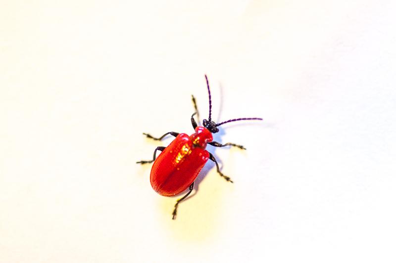 Lilijevka – rdeči požrešni hrošč lilij