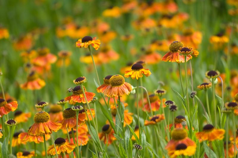 Nebinovke popestrijo poletje in jesen