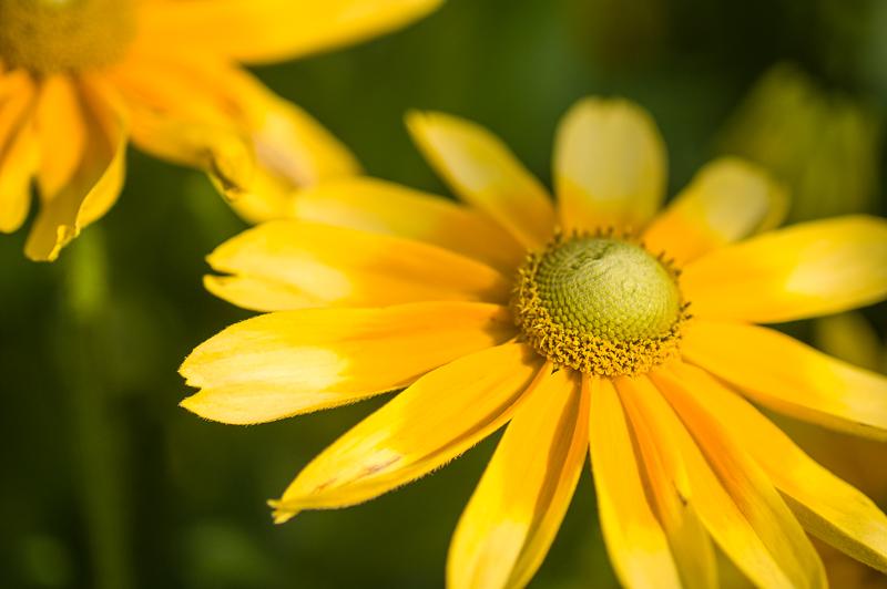 Rudbekije – mala sonca sredi gred