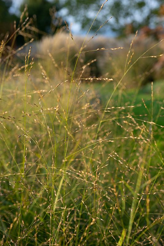 okrasne trave - proso