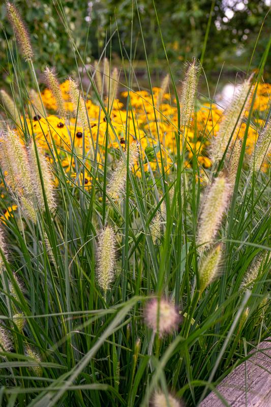 okrasne trave - perjanka